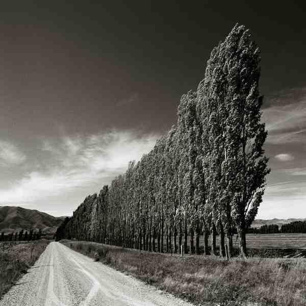 Poplars - South Island